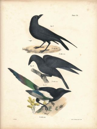 Bird print - Plate 24 from Zoology of New York, or the New-York Fauna. Part II Birds. James E. De...