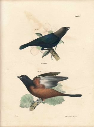 Bird print - Plate 21 from Zoology of New York, or the New-York Fauna. Part II Birds. James E. De...