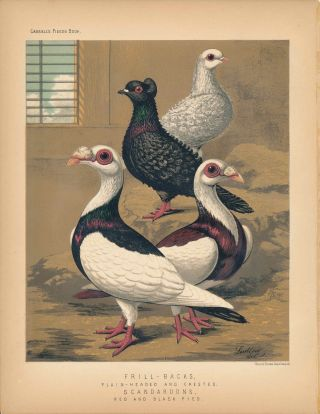 "Cassell's Pigeon Book - ""Frill-Backs, Plain-Headed and Crested. Scandaroons, red and black pied""..."