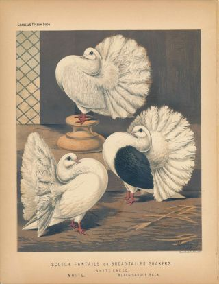 "Cassell's Pigeon Book - ""Scotch Fantails or Broad-tailed Shakers. White Laced, White,..."