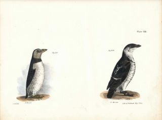 Bird print - Plate 138 from Zoology of New York, or the New-York Fauna. Part II Birds. James E....