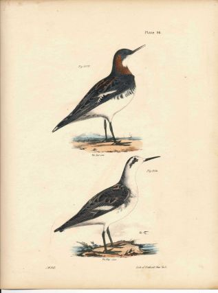 Bird print - Plate 90 from Zoology of New York, or the New-York Fauna. Part II Birds. James E. De...