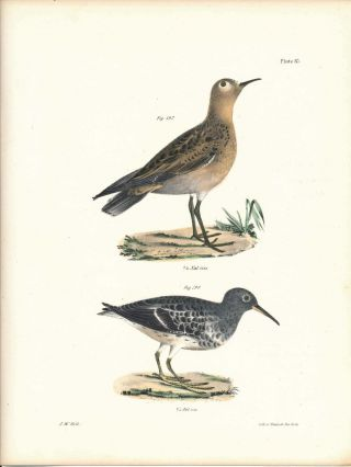 Bird print - Plate 87 from Zoology of New York, or the New-York Fauna. Part II Birds. James E. De...