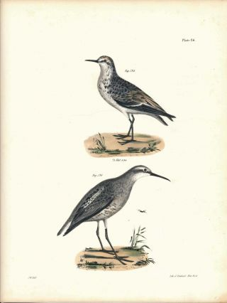 Bird print - Plate 86 from Zoology of New York, or the New-York Fauna. Part II Birds. James E. De...