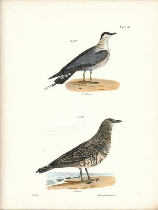 Bird print - Plate 133 from Zoology of New York, or the New-York Fauna. Part II Birds. James E....