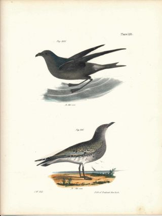 Bird print - Plate 135 from Zoology of New York, or the New-York Fauna. Part II Birds. James E....
