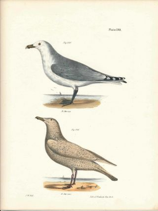 Bird print - Plate 130 from Zoology of New York, or the New-York Fauna. Part II Birds. James E....