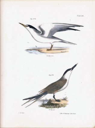 Bird print - Plate 124 from Zoology of New York, or the New-York Fauna. Part II Birds. James E....