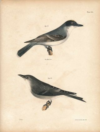 Bird print - Plate 33 from Zoology of New York, or the New-York Fauna. Part II Birds. James E. De...