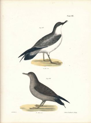 Bird print - Plate 136 from Zoology of New York, or the New-York Fauna. Part II Birds. (Gulls)....