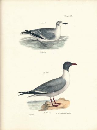 Bird print - Plate 132 from Zoology of New York, or the New-York Fauna. Part II Birds. (Gulls)....