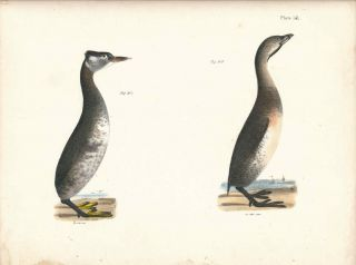 Bird print - Plate 141 from Zoology of New York, or the New-York Fauna. Part II Birds. (Grebes)....