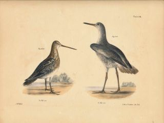 Bird print - Plate 93 from Zoology of New York, or the New-York Fauna. Part II Birds. (Shore...