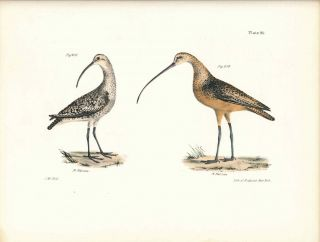 Bird print - Plate 96 from Zoology of New York, or the New-York Fauna. Part II Birds. (Curlews)....