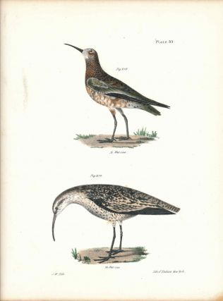 Bird print - Plate 95 from Zoology of New York, or the New-York Fauna. Part II Birds....