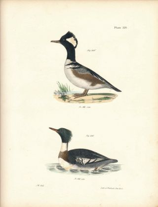 Bird print - Plate 120 from Zoology of New York, or the New-York Fauna. Part II Birds. (Ducks)....