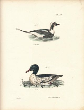 Bird print - Plate 119 from Zoology of New York, or the New-York Fauna. Part II Birds. (Ducks)....