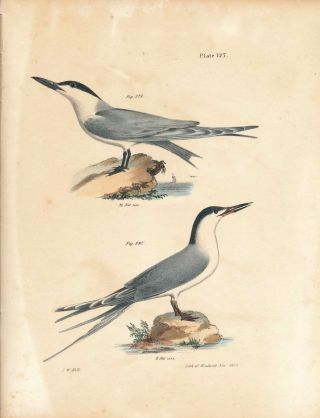 Bird print - Plate 127 from Zoology of New York, or the New-York Fauna. Part II Birds. (Terns)....