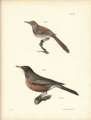 Bird print - Plate 38 from Zoology of New York, or the New-York Fauna. Part II Birds. (Robin and...