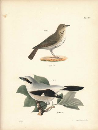 Bird print - Plate 37 from Zoology of New York, or the New-York Fauna. Part II Birds. (Northern...