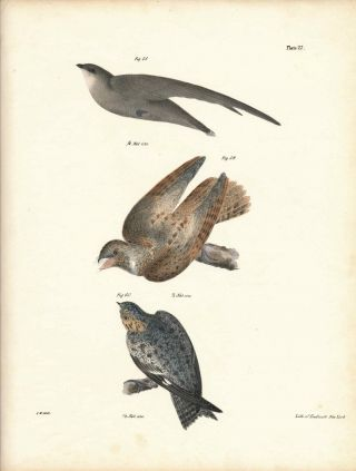 Bird print - Plate 27 from Zoology of New York, or the New-York Fauna. Part II Birds. (Sparrow,...