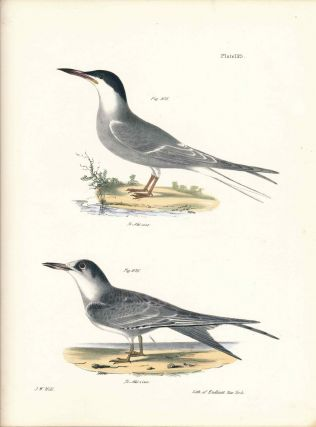 Bird print - Plate 125 from Zoology of New York, or the New-York Fauna. Part II Birds. (Terns)....