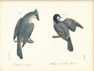 Bird print - Plate 45 from Zoology of New York, or the New-York Fauna. Part II Birds. (Crested...