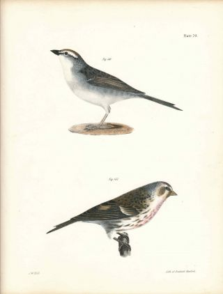 Bird print - Plate 70 from Zoology of New York, or the New-York Fauna. Part II Birds. (Chip-bird...