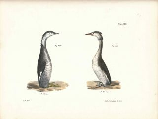 Bird print - Plate 140 from Zoology of New York, or the New-York Fauna. Part II Birds. (Grebes)....