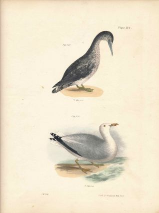 Bird print - Plate 122 from Zoology of New York, or the New-York Fauna. Part II Birds. (Gannet...