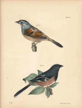 Bird print - Plate 71 from Zoology of New York, or the New-York Fauna. Part II Birds. (Swamp...