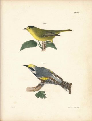 Bird print - Plate 52 from Zoology of New York, or the New-York Fauna. Part II Birds. (Warblers)....