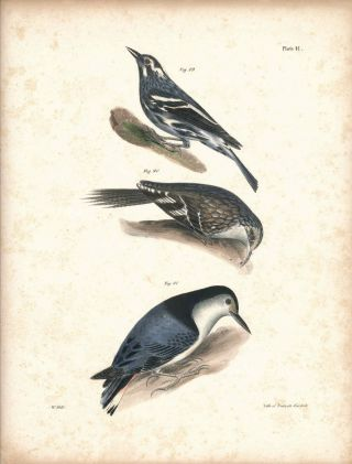 Bird print - Plate 41 from Zoology of New York, or the New-York Fauna. Part II Birds. (Creeping...