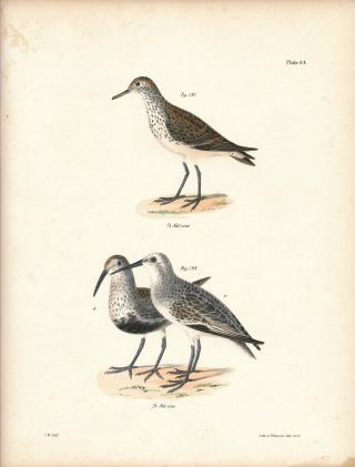Bird print - Plate 84 from Zoology of New York, or the New-York Fauna. Part II Birds....