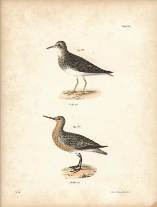 Bird print - Plate 85 from Zoology of New York, or the New-York Fauna. Part II Birds....