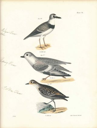 Bird print - Plate 78 from Zoology of New York, or the New-York Fauna. Part II Birds. (Plovers)....