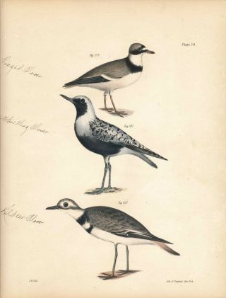 Bird print - Plate 79 from Zoology of New York, or the New-York Fauna. Part II Birds. (Plovers)....
