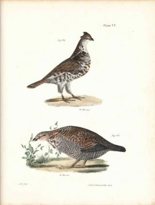 Bird print - Plate 77 from Zoology of New York, or the New-York Fauna. Part II Birds. (Partridge...