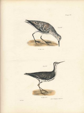 Bird print - Plate 91 from Zoology of New York, or the New-York Fauna. Part II Birds. (Sanderling...
