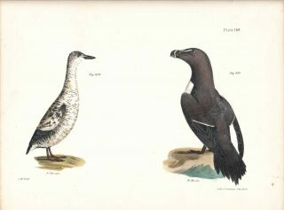 Bird print - Plate 139 from Zoology of New York, or the New-York Fauna. Part II Birds. (Razorbill...