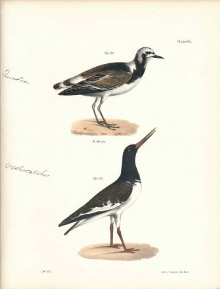 Bird print - Plate 80 from Zoology of New York, or the New-York Fauna. Part II Birds. (Turnstone...