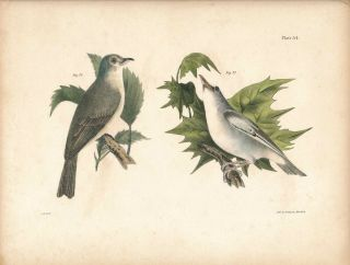 Bird print - Plate 34 from Zoology of New York, or the New-York Fauna. Part II Birds....