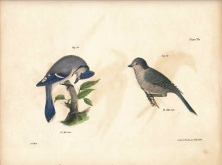 Bird print - Plate 25 from Zoology of New York, or the New-York Fauna. Part II Birds. (Jays)....