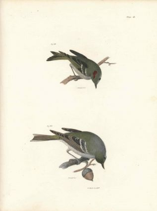 Bird print - Plate 53 from Zoology of New York, or the New-York Fauna. Part II Birds. (Warbler...