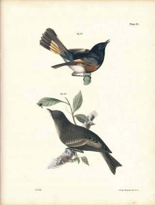 Bird print - Plate 31 from Zoology of New York, or the New-York Fauna. Part II Birds. (Redstart...