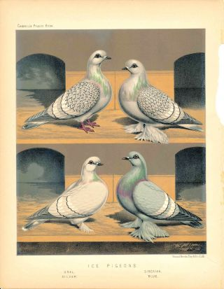 "Cassell's Pigeon Book - ""Ice Pigeons: Ural, Silver, Siberian, Blue"" Pigeons. Cassell, Lewis..."